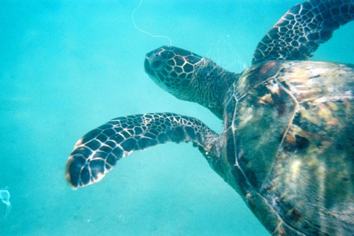 "Tortues d""Hawai"